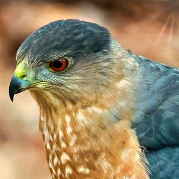 135228773_coppers hawk
