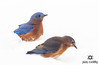 Eastern Bluebirds in Snow