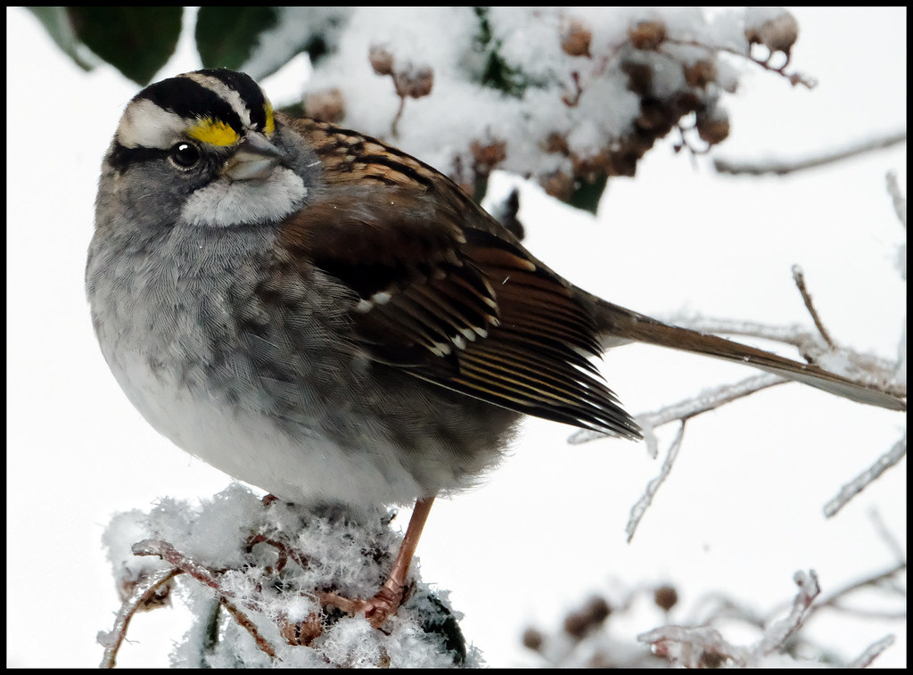2-19-21 - WhiteThroated Sparrow - 2