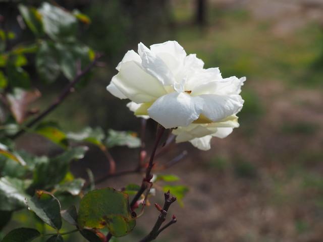 Rosa 'Bloomfield Abundance'_Obtentor: George C. Thomas_EEUU_1920_P2070037