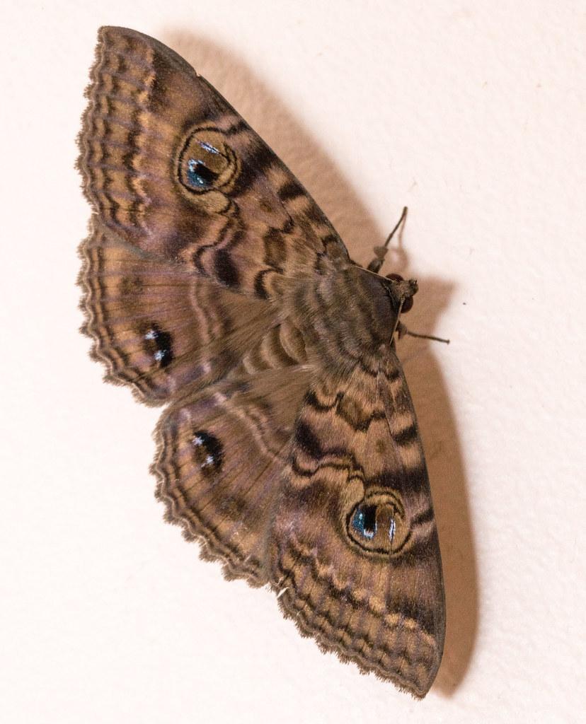 Granny's Cloak Moth Speiredonia spectans