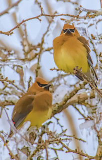 Cedar Waxwing Duo | by Deer Creek Photography