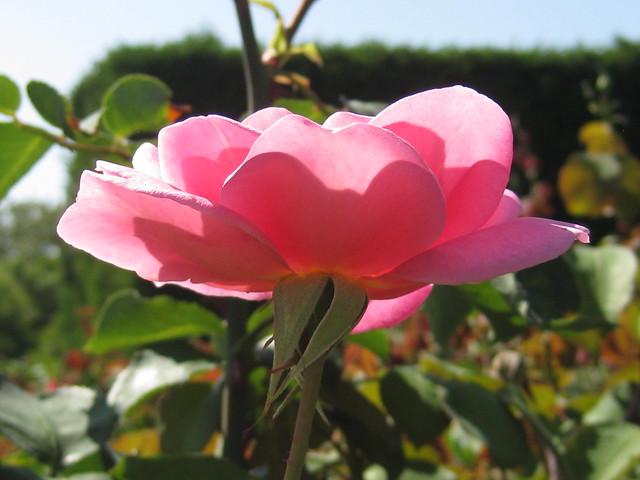 Lady Mann Rose Bloom - St Kilda Botanical Gardens, St Kilda