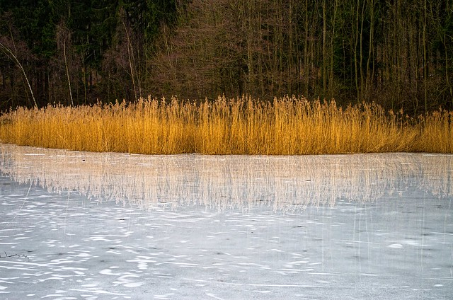 Reed in the ice