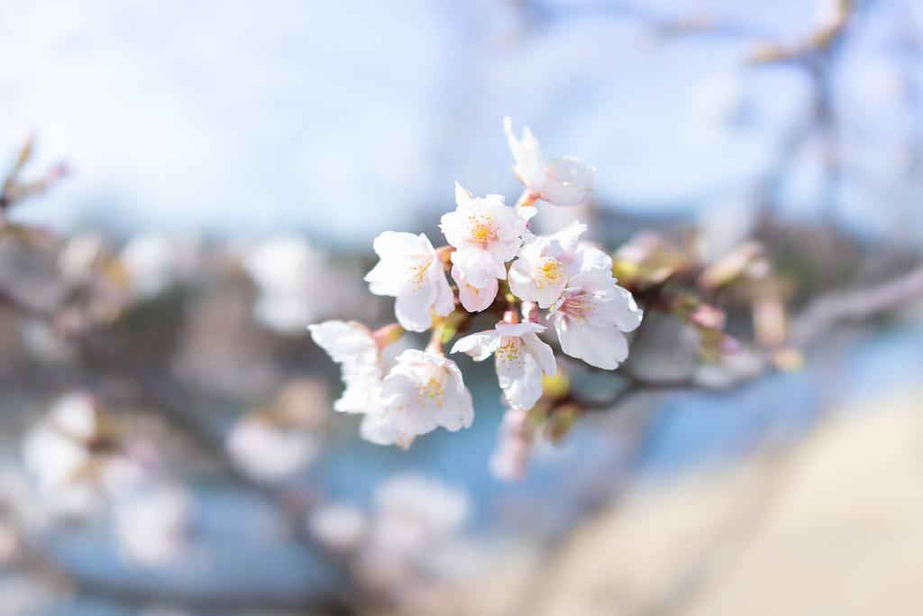 Tamanawa-zakura