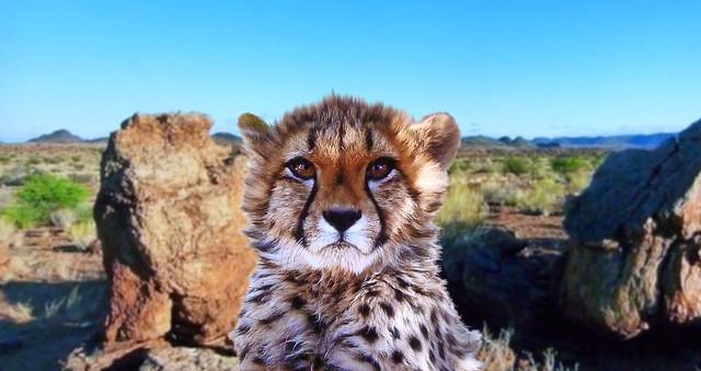 AFRICA - Serengeti park in Tanzania - Baby cheetah