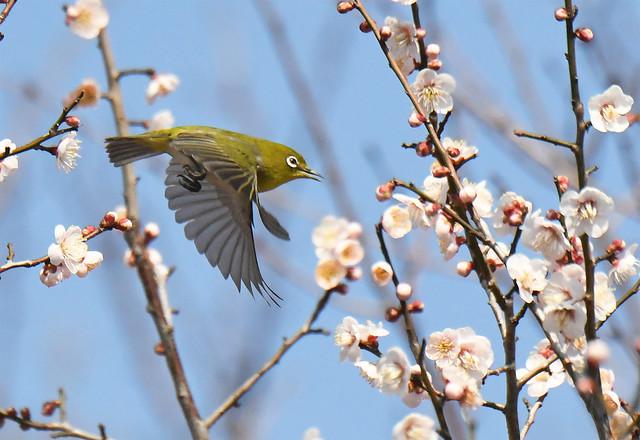 Japanese white-eye in flight among ume flowers