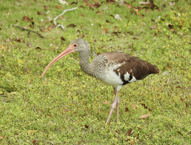White Ibis (immature), Key Largo, Florida, USA, February 2021