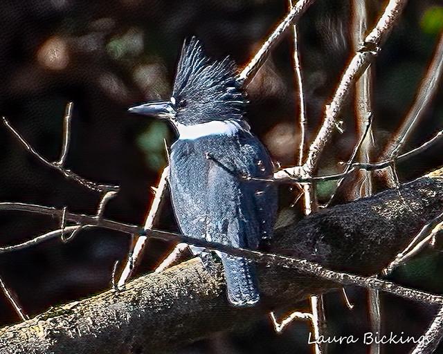 Kingfisher 2-