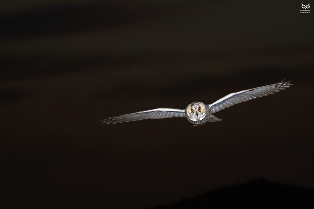 Bufo-pequeno, Long-eared Owl(Asio otus)