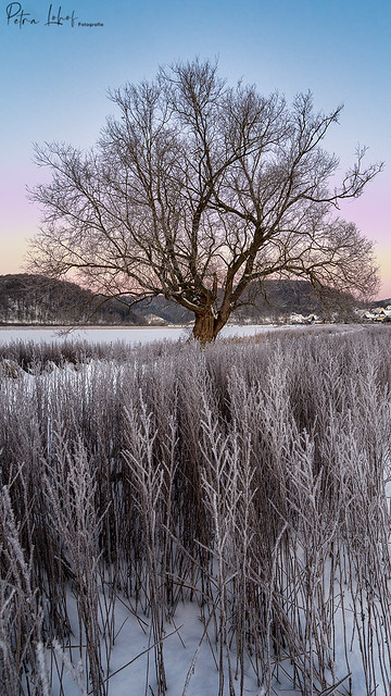 Landzungenbaum