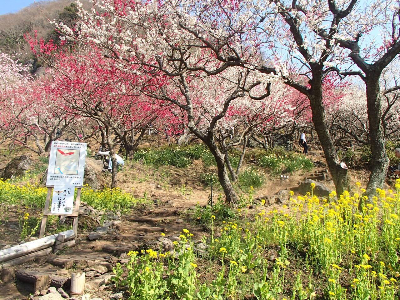 【丹沢】幕山・湯河原梅林 満開の梅の花と大展望を望む春の登山