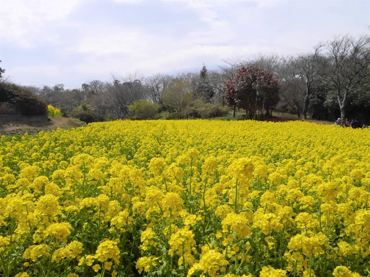 【三浦半島】大楠山 桜と菜の花満開の春の登山