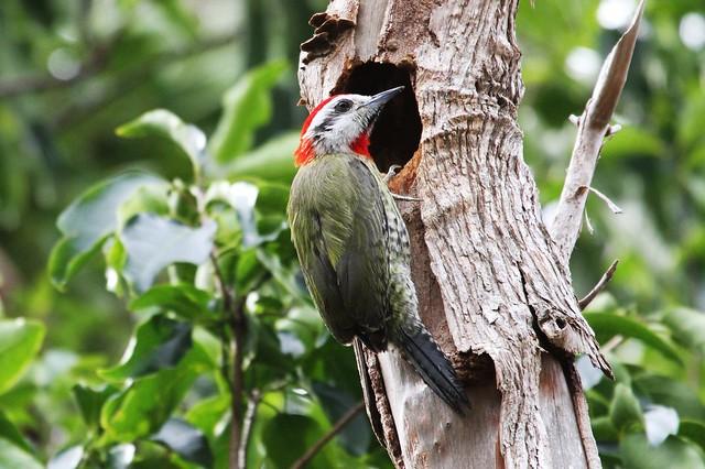 Cuban Green Woodpecker Male - Pic Poignardé mâle ( Richard )