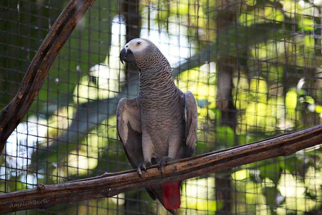 Papagaio-do-Congo - Psittacus Erithacus