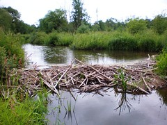 Beaver dam on Smilga River, Lituania