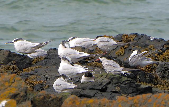 Sandwich Tern (Sterna sandvicensis) & Common Tern  (Sterna hirundo)