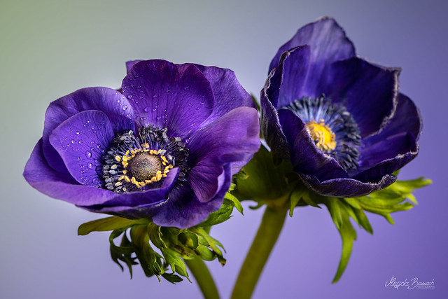 Two anemones