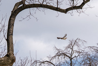 Flying Red-tailed Hawk | by thoth1618