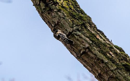 Lesser spotted woodpecker - Denrocopus minor - Kleine bonte specht