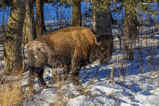Curious Bison