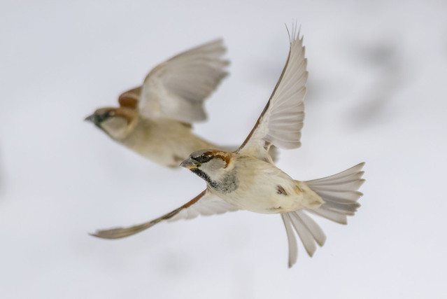 House Sparrows | In Flight
