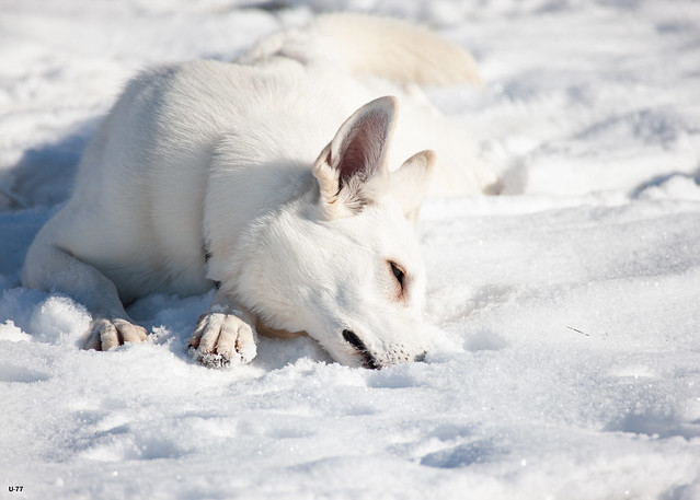 Canadian White Shepherd Covers its Nose