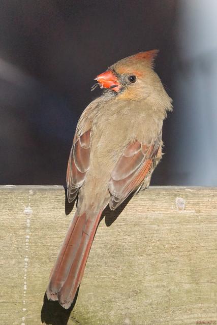 Cardinal rouge femelle - Northern Cardinal - Québec, PQ, Canada - 2739
