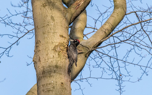 Black woodpecker - Dryocopus martius - Zwarte specht