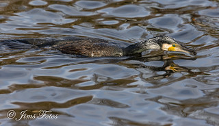 Great Cormorant in water | by Jims Fotos