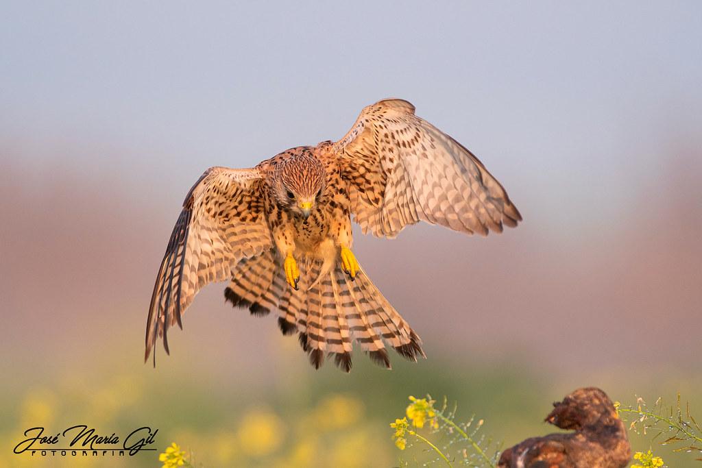 Cernícalo vulgar (Falco tinnunculus).