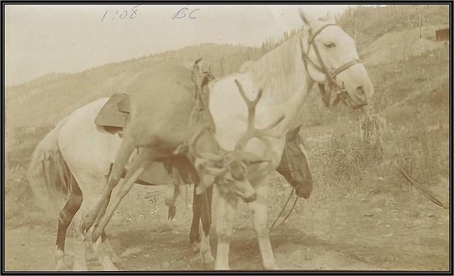 September 1908 Real Photo Postcard - Edward Oscar Boak / Packing Deer On A Saddle / Deer Hunting