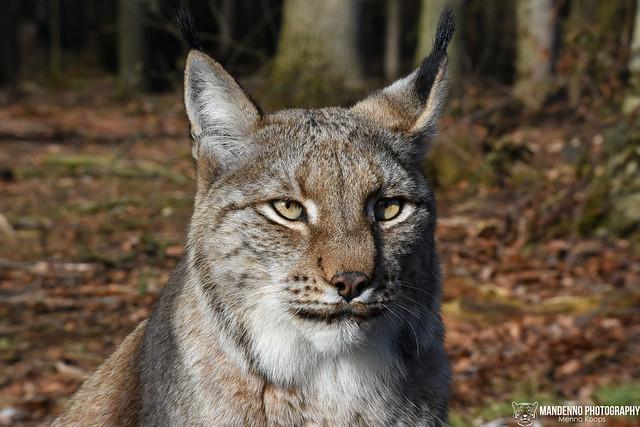 Eurasian lynx - Wildpark Anholther Schweiz
