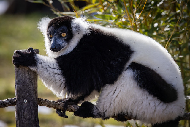 Varis - Lemuren
