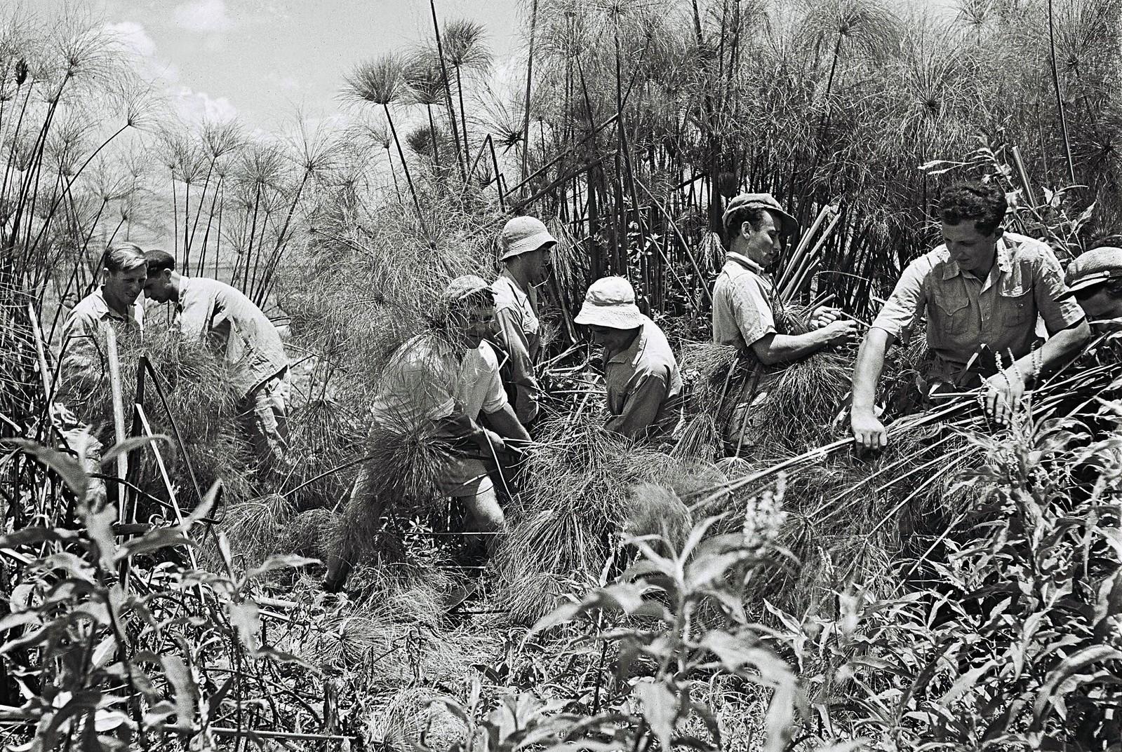 16. Члены этой сионистской общины очищают заросли папируса в болотах Хулы рядом с кибуцем Амир. 1 июня