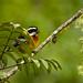 Cigua Amarilla, Hispaniolan Spindalis (Spindalis dominicensis)