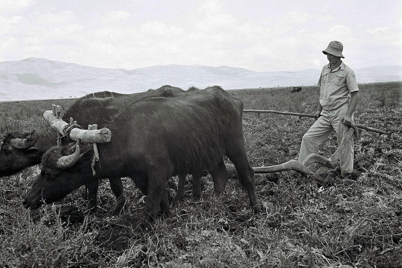 15. Член этого сообщества использует примитивный плуг, запряженный парой буйволов на полях в кибуце Амир. 1 июня