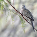 Inca Dove in Mesquite