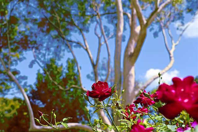 Rose+GumTree