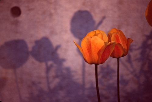 Tulips and Shadows