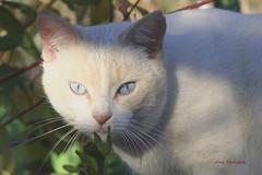 Un gato blanco  094