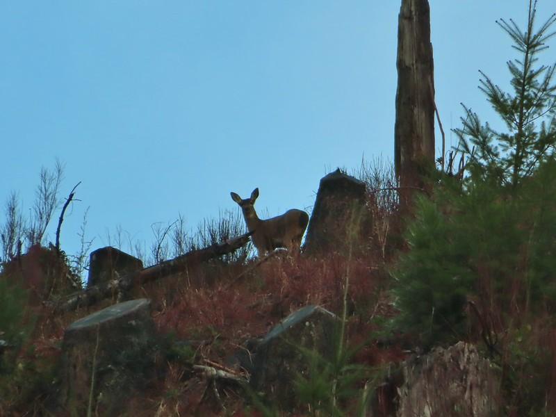 Deer in the clearcut
