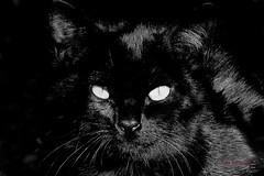 Un gato negro IMG_4499