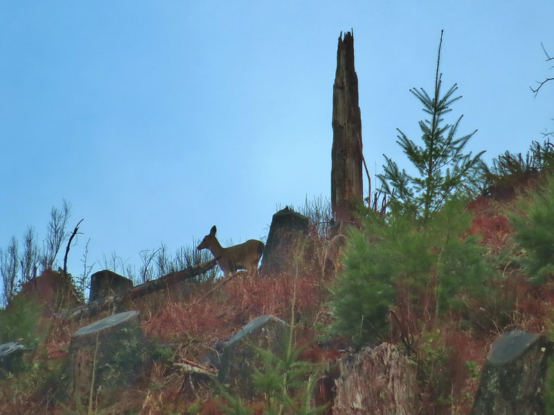 Deer moving away from us through the clearcut