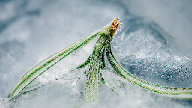 Rosemary Frozen In Iceblock
