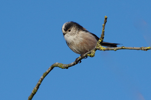 aegithaloscaudatus barhill cambridgeshire bird garden longtailedtit nature wild wildlife e