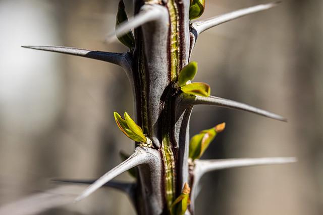 Ocotillo--New Growth