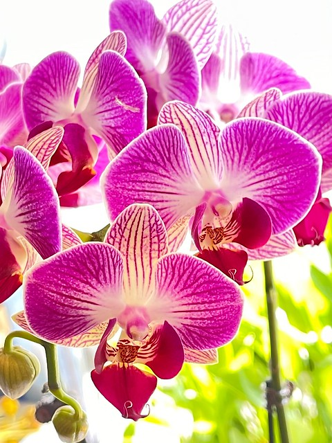 Orchids for Year of Ox