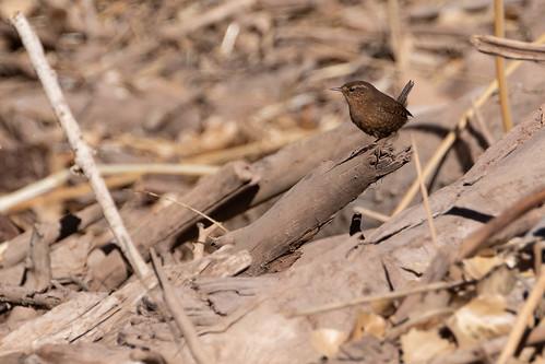 nature naturaleza wildlife vidasilvestre birds pájaros passaros aves troglodytidae
