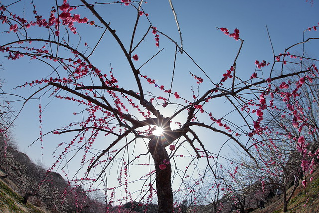 Weeping plum tree